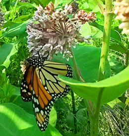 A monarch butterfly stops for a milkweed snack at Double Oak.