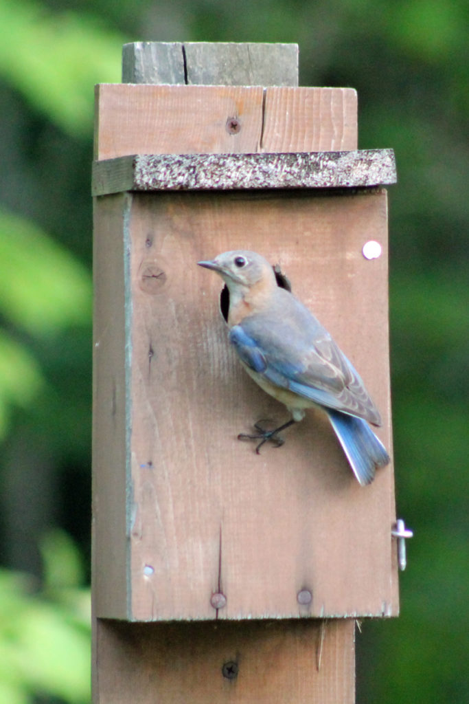 Bluebird perched on outside of nesting box